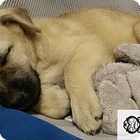 Adopt A Pet :: Piper - DeForest, WI