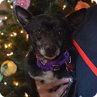 Adopt A Pet :: Blitzen - Valparaiso, IN