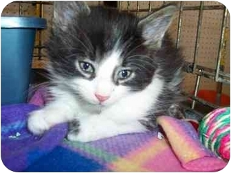 Domestic Mediumhair Kitten for adoption in Frenchtown, New Jersey - Stevie