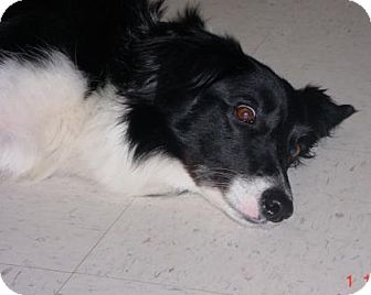 Border Collie Mix Dog for adoption in Lockhart, Texas - Lyric