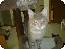 Domestic Shorthair Cat for adoption in Hamburg, New York - Mr. Chips