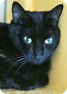 Domestic Shorthair Cat for adoption in Medford, Massachusetts - Mike
