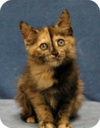 Domestic Mediumhair Cat for adoption in Sacramento, California - Brooke