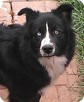 Border Collie/Husky Mix Dog for adoption in Alamosa, Colorado - Luna