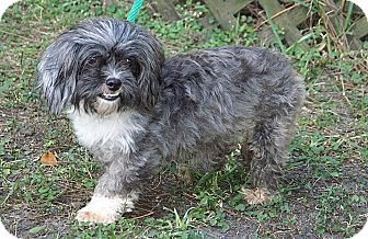 Shih Tzu Mix Dog for adoption in Englewood, Florida - Dazzle