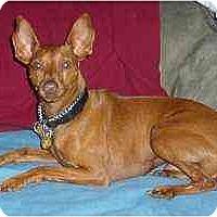 Adopt A Pet :: Dobie - Florissant, MO