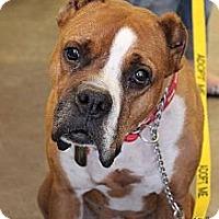 Adopt A Pet :: Charlie Boxer - Scottsdale, AZ