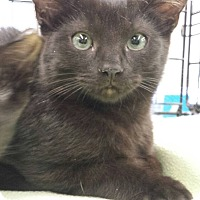 Domestic Shorthair Cat for adoption in Edmond, Oklahoma - Toothless