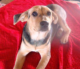 Labrador Retriever/German Shepherd Dog Mix Dog for adoption in Columbia, Kentucky - Holly