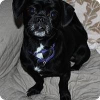 Pekingese/Pug Mix Dog for adoption in Staunton, Virginia - Phillip