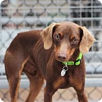 Adopt A Pet :: Molasses - Smyrna, GA