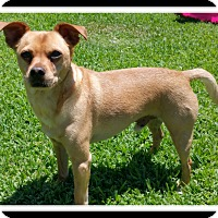 Chihuahua/Pug Mix Dog for adoption in Winchester, California - Rigby