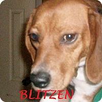 Adopt A Pet :: BLITZEN - Ventnor City, NJ