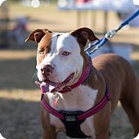 Adopt A Pet :: Addison - Gilbert, AZ