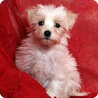Adopt A Pet :: Janis Shih ton - St. Louis, MO