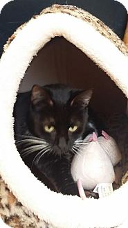 Domestic Shorthair Cat for adoption in Ozark, Alabama - Blessing