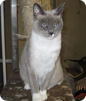 Siamese Cat for adoption in San Ysidro, California - Lily