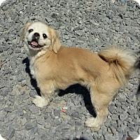 Pekingese Dog for adoption in Hagerstown, Maryland - Winston