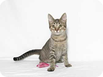 Domestic Shorthair Kitten for adoption in Lufkin, Texas - Versa