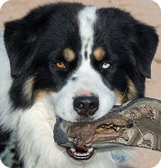 Australian Shepherd Mix Dog for adoption in Corrales, New Mexico - Flash