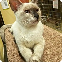 Siamese Kitten for adoption in Hallandale, Florida - Hazel