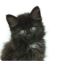 Domestic Longhair Kitten for adoption in Durham, North Carolina - Smoky