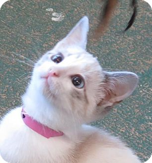 Siamese Kitten for adoption in Gonzales, Texas - Topsy