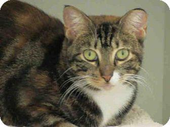 Domestic Shorthair Cat for adoption in Vero Beach, Florida - DAPHNE