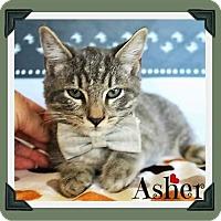 Adopt A Pet :: Ashton - Arlington, TX