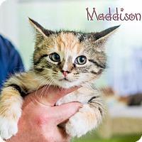 Adopt A Pet :: Maddison - Somerset, PA