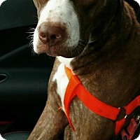 Adopt A Pet :: Mocha-ADOPTION PENDING - Livonia, MI