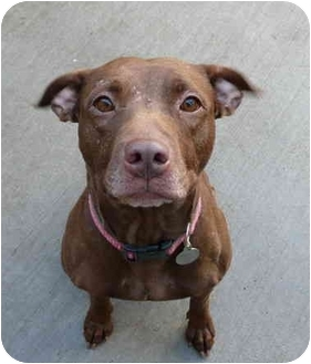 American Staffordshire Terrier/Pit Bull Terrier Mix Dog for adoption in Chicago, Illinois - Jewels