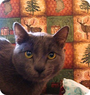 Domestic Shorthair Cat for adoption in Albany, New York - Fabiano