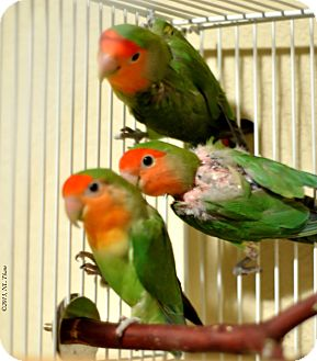 Lovebird for adoption in Shawnee Mission, Kansas - Emerald