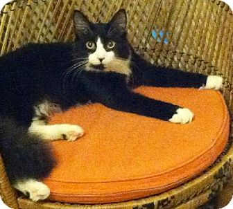 Domestic Mediumhair Cat for adoption in Marlton, New Jersey - Bowtie