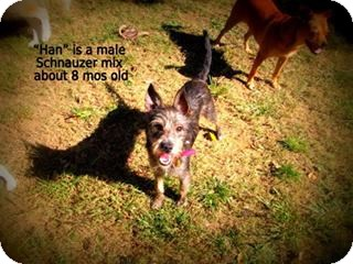 Schnauzer (Standard) Mix Dog for adoption in Gadsden, Alabama - Han
