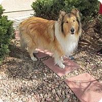 Adopt A Pet :: Toshito - Pueblo West, CO