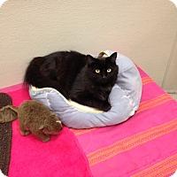 Adopt A Pet :: Solo - Gilbert, AZ