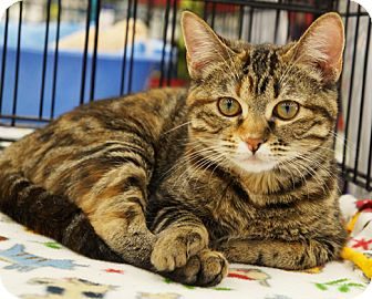 Domestic Shorthair Cat for adoption in Great Falls, Montana - Bridgett