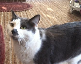 Domestic Shorthair Cat for adoption in Cranford/Rartian, New Jersey - Smudges
