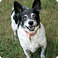 Rat Terrier Mix Dog for adoption in Longview, Texas - Ruby