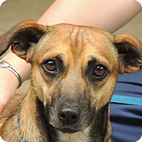 Adopt A Pet :: Dobby - Hagerstown, MD