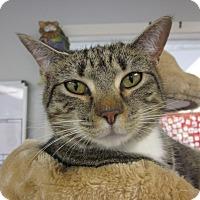 Adopt A Pet :: Mittens - San Leon, TX