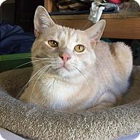 Adopt A Pet :: Schnitzel - Lombard, IL