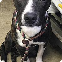 Adopt A Pet :: BLAZE - Cadiz, OH