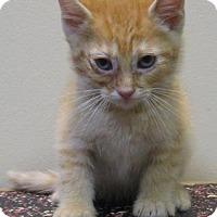 Domestic Shorthair Kitten for adoption in Gary, Indiana - Hank