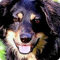 Adopt A Pet :: TABITHA(OUR MINI-AUSSIE!! - Wakefield, RI