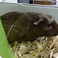 Adopt A Pet :: ALVIN - Fort Wayne, IN