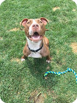 American Pit Bull Terrier/American Staffordshire Terrier Mix Dog for adoption in Warrenville, Illinois - Sabrina