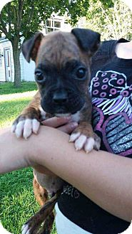 Boxer Mix Puppy for adoption in North Ridgeville, Ohio - Jasper and Selena